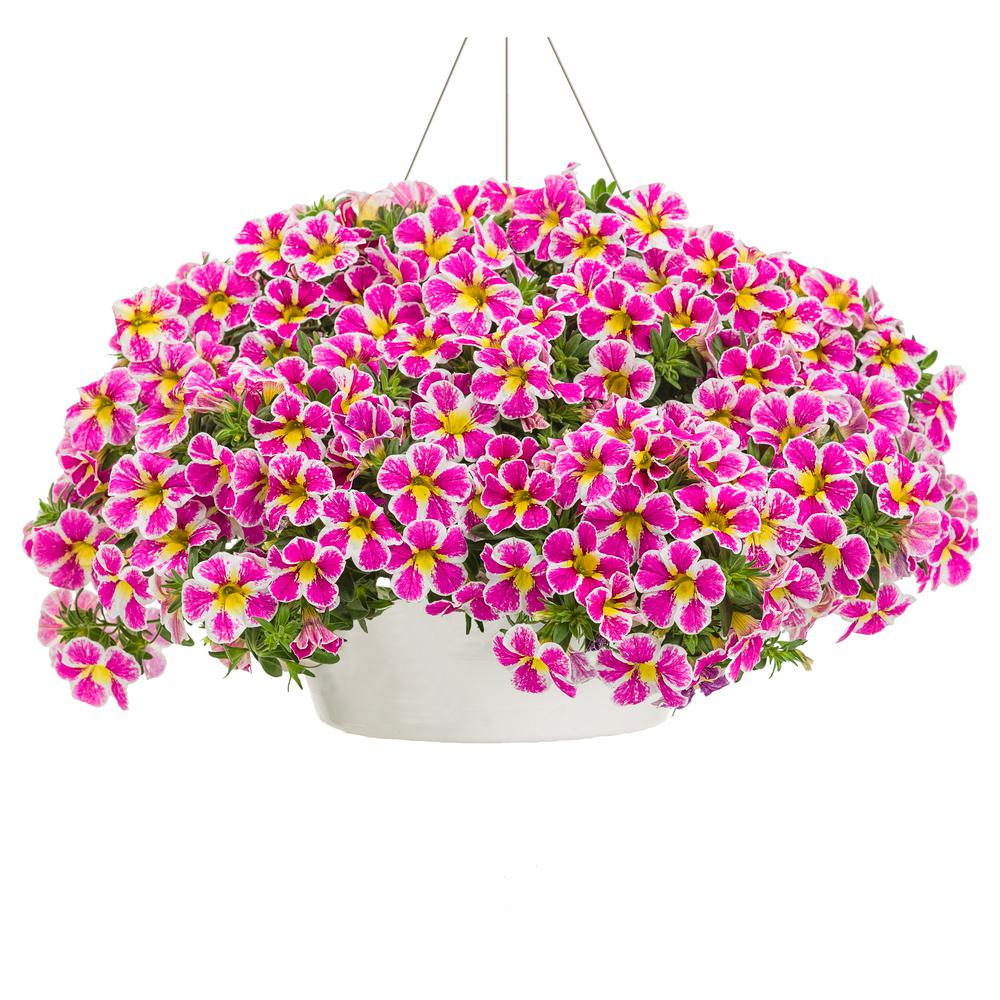 Proven Winners 10 in. Pink and Yellow Flowers Superbells Holy Cow Mono Hanging Basket Calibrachoa Live Plant