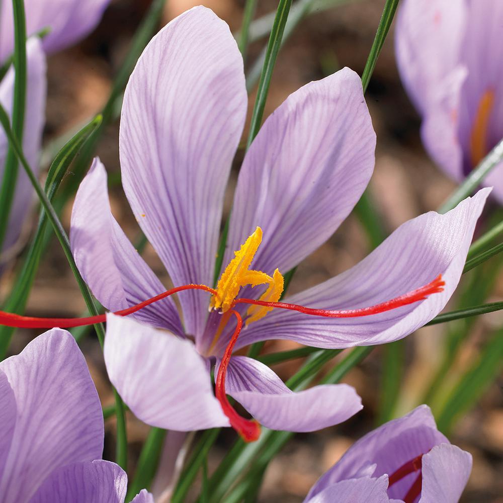 Crocus Bulbs Saffron Crocus (Set of 15)