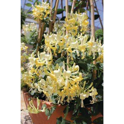 4.5 in. qt. Scentsation Honeysuckle (Lonicera) Live Vine Shrub With Yellow Flowers and Red Berries