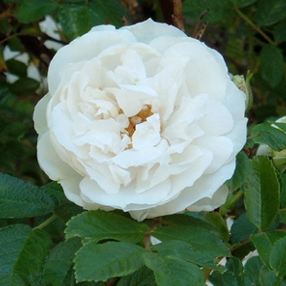 Mea Nursery Fragrant Sir Thomas Lipton Shrub Rose with White Flowers was $25.98 now $10.49 (60.0% off)