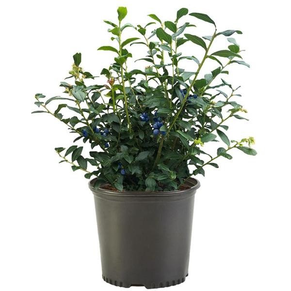 2.25 Gal. Blue Crop Blueberry Plant with White Flowers and Green Foliage