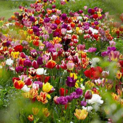 Flower bulbs garden plants flowers the home depot tulips bulbs economy medley of varieties set of 50 mightylinksfo