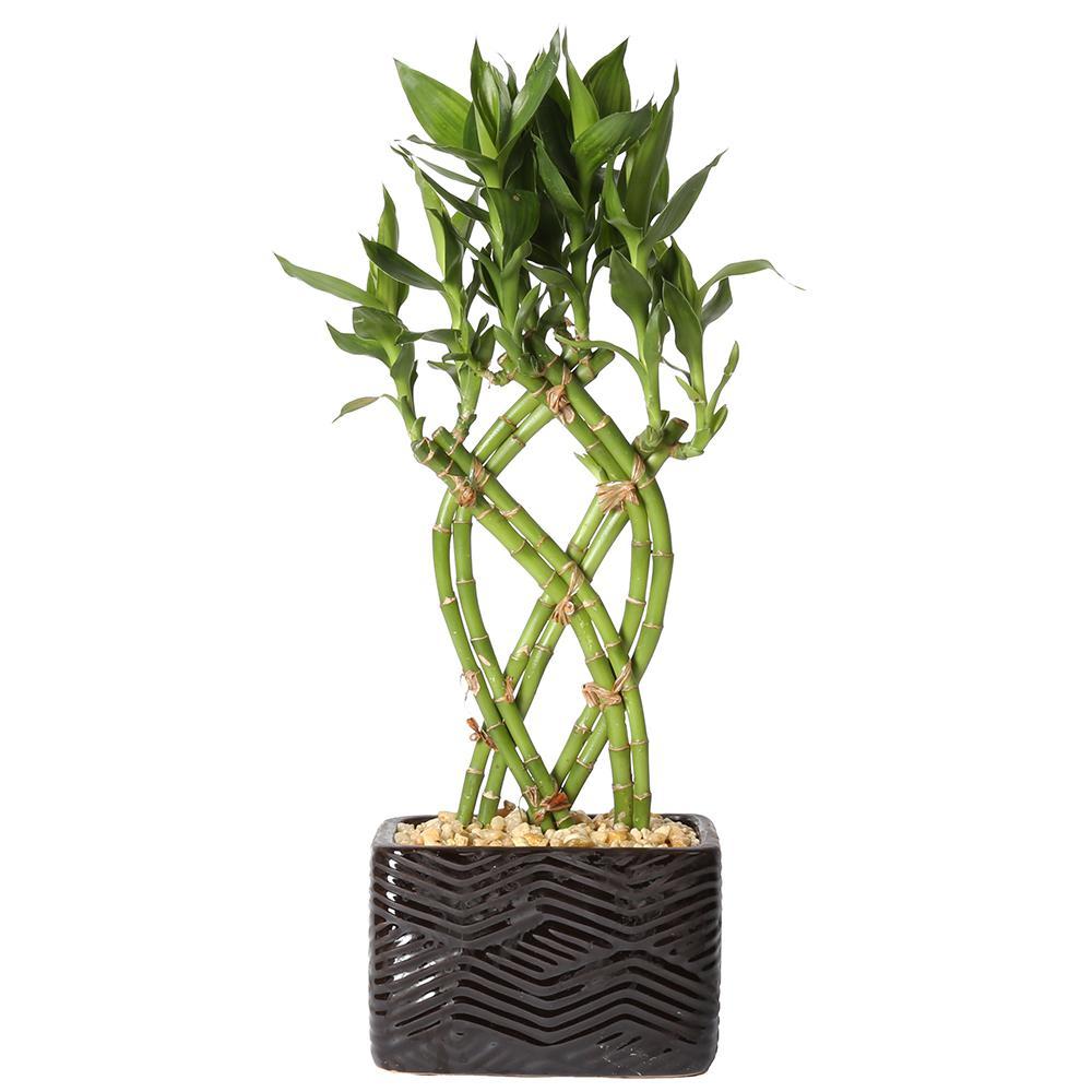 Lucky Bamboo Weave Braid In 5.5 In. Galileo Black Square Ceramic