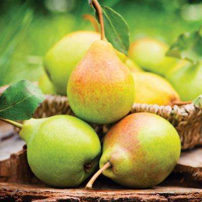 Pear Tree - Kieffer - 1 Root Stock