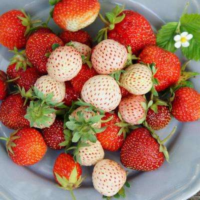 White Pineberry Strawberries With Pollinator (Set of 20 Roots)