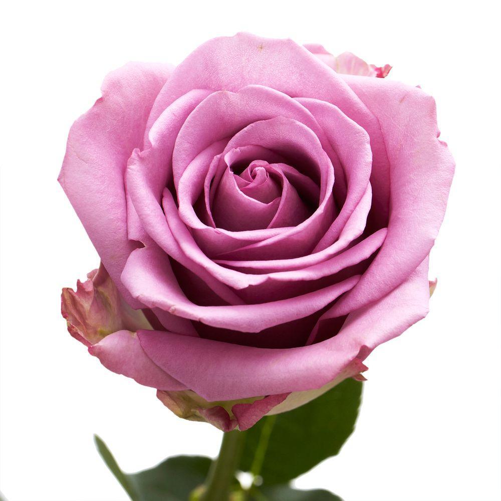 Fresh Lavender Color Roses (250 Stems)