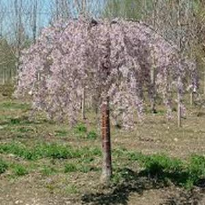 7 Gal. Pink Weeping Cherry Tree