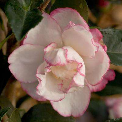 2 Gal. October Magic Inspiration Camellia(sasanqua) - Live Evergreen Shrub with White Blooms with Magenta Edges