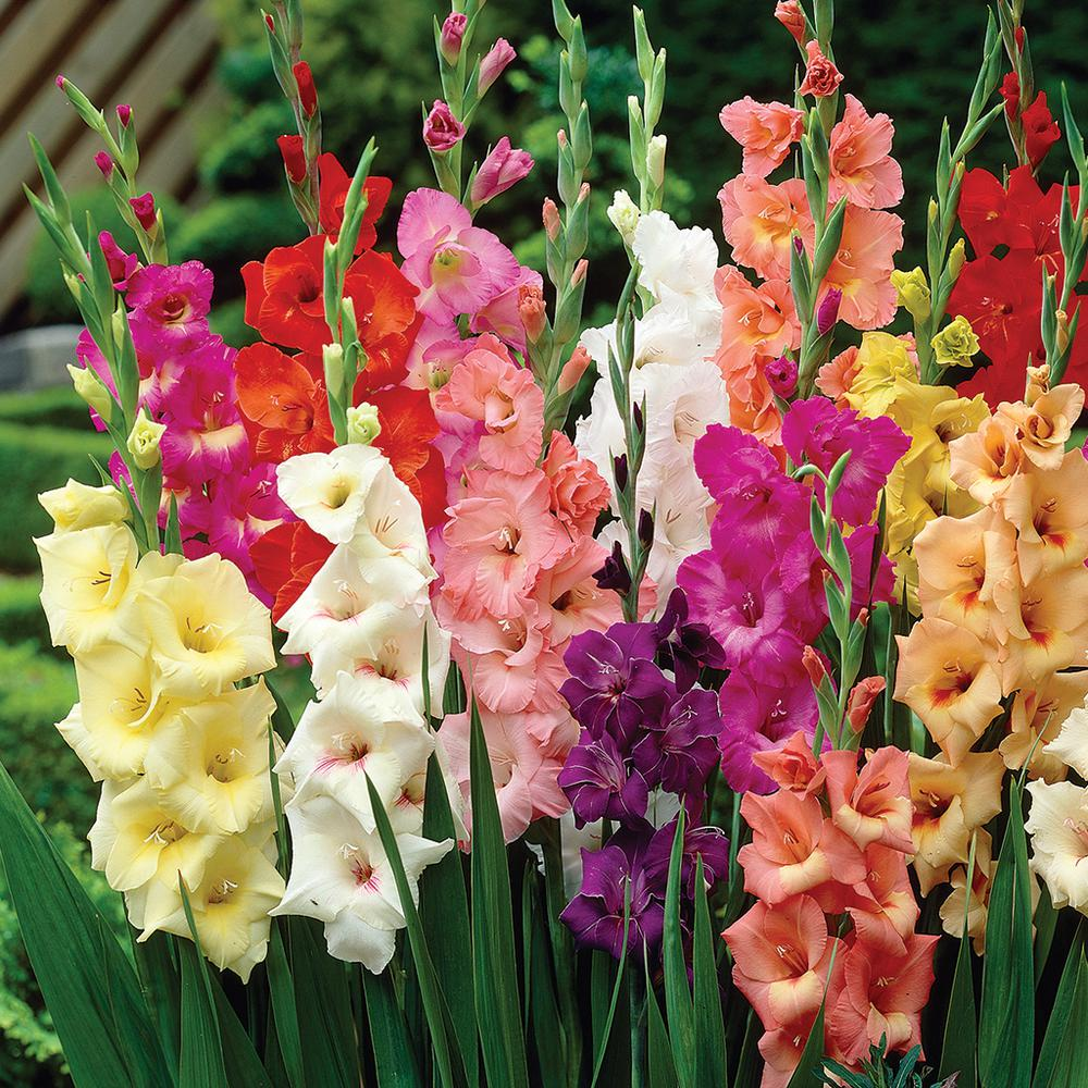 Gladiolus Colossal Large Sized Flowering Rainbow Mixed Bulbs Set Of 12