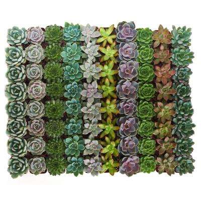 2 in. Rosette Succulent (Collection of 64)