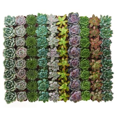 2 in. Rosette Succulent (Collection of 32)
