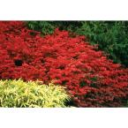 4.5 in. Qt. Fire Ball Burning Bush (Euonymus) Live Shrub, Bright Red Foliage
