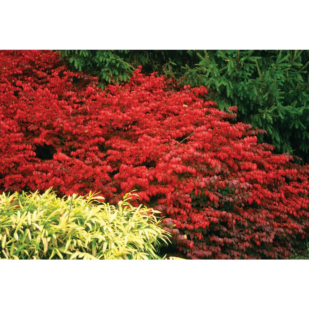 1 Gal. Fire Ball Burning Bush (Euonymus)Live Shrub, Bright Red Foliage