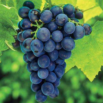 1  Gal. Concord Seedless Grape (Vitis), Live Fruiting Vine, Purple Seedless Fruit Clusters (1-Pack)
