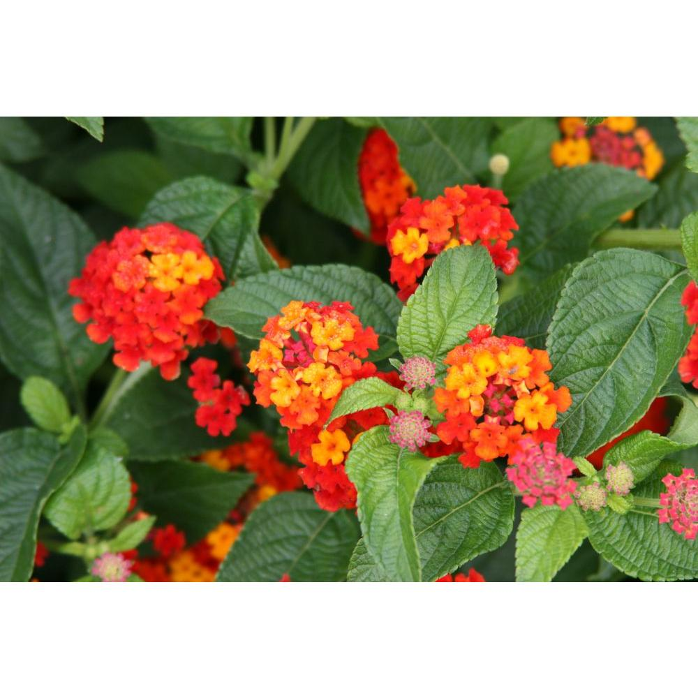 Proven winners luscious citrus blend lantana live plant red proven winners luscious citrus blend lantana live plant red orange and yellow flowers 425 in grande 4 pack lanprw2027524 the home depot mightylinksfo
