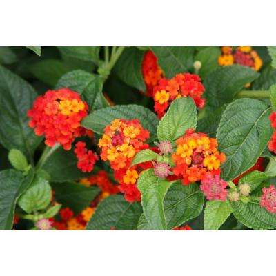 Lantana Hanging Basket Gorgeous Lantana Annuals Garden Plants Flowers The Home Depot