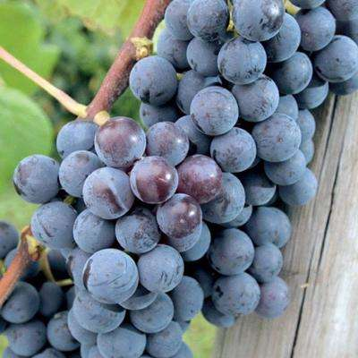 Blue Concord Seedless Grape Bareroot Plant