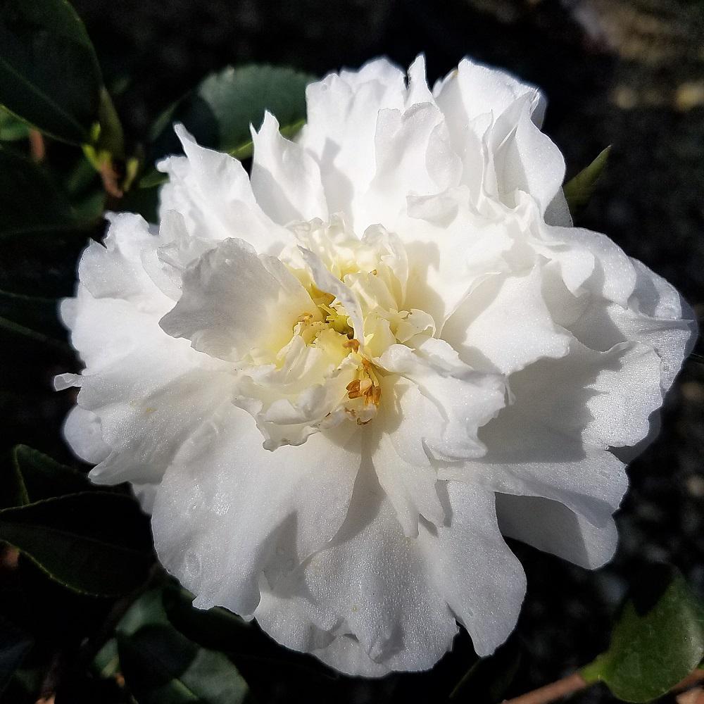 9.25 in. Pot - Mine No Yuki Camellia(sasanqua) - Evergreen Shrub with White Flowers, Live Plant