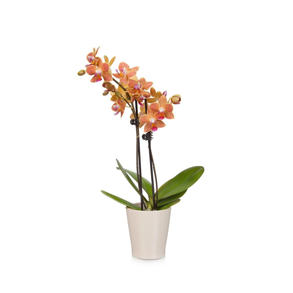 Salmon 3 in. Charming Orchid Plant in Ceramic Pot