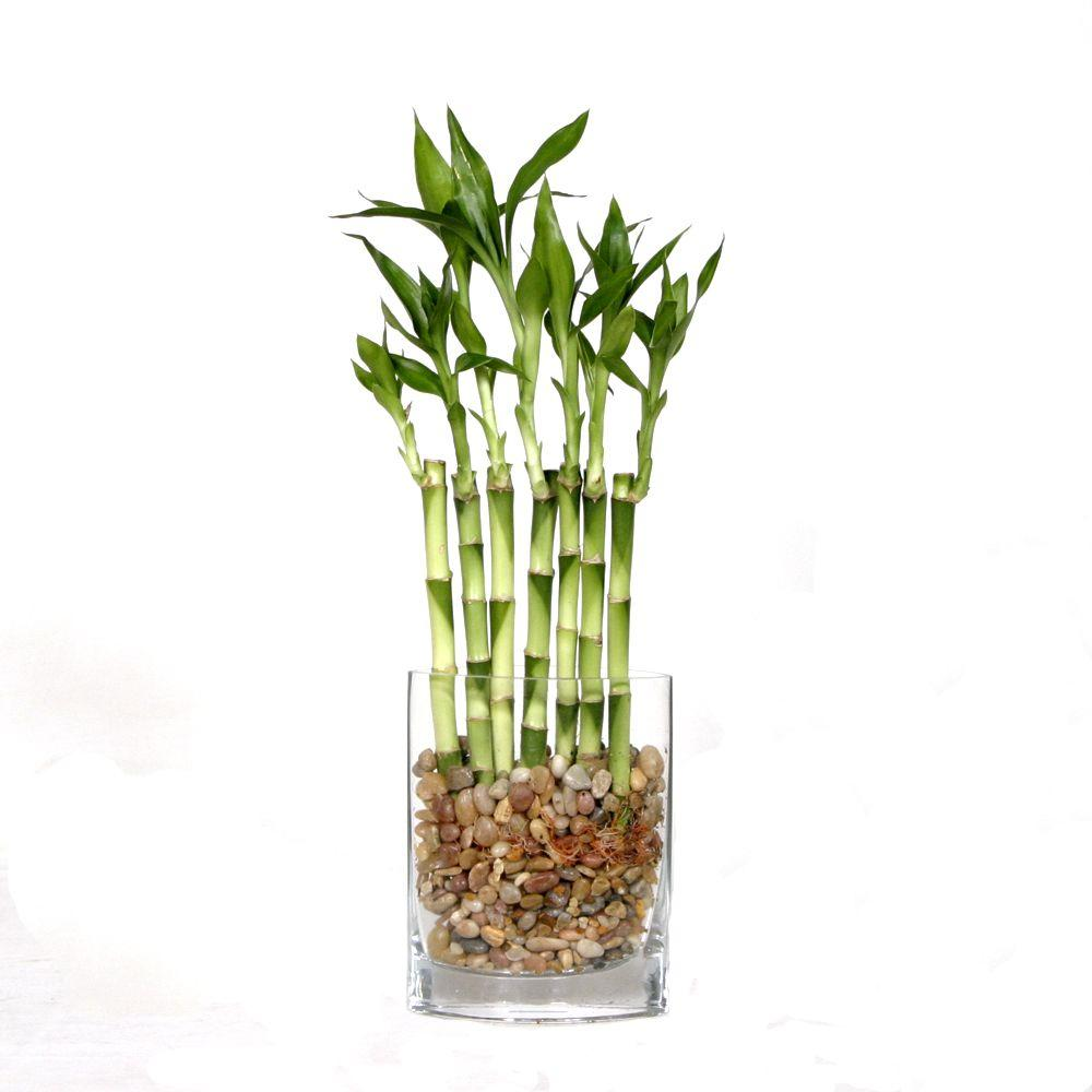 Brussel's Bonsai 12 in. Fence Bamboo in Square Glass Container
