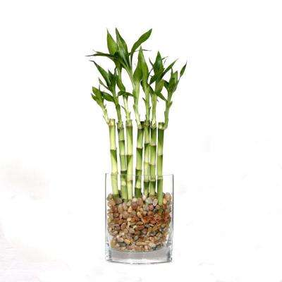 12 in. Fence Bamboo in Square Glass Container