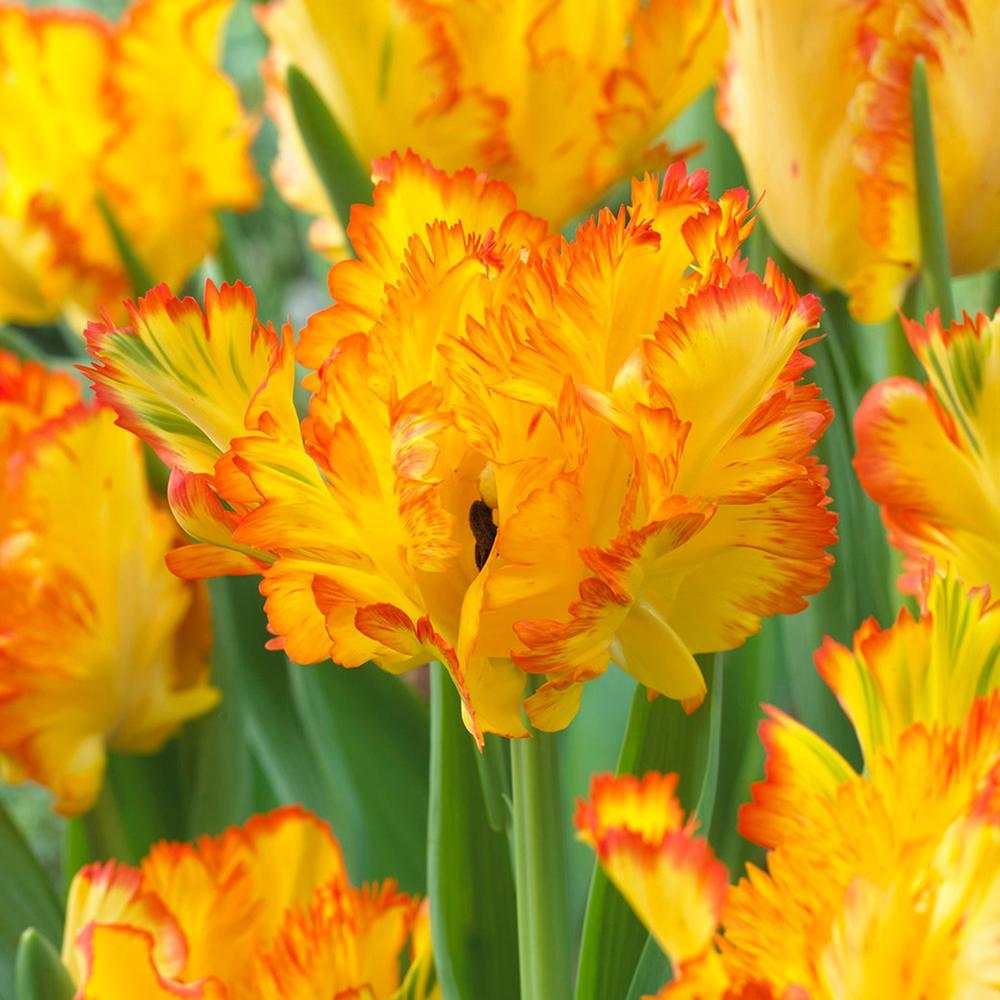 Tulip flower bulbs garden plants flowers the home depot tulips bulbs caribbean parrot set of 8 mightylinksfo