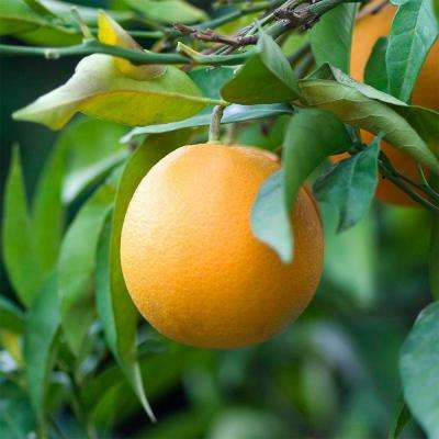 32 in. Tall 1 Year Old Citrus Valencia Orange