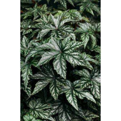Pegasus (Begonia) Live Plant, Green and Silver Foliage, 4.25 in. Grande
