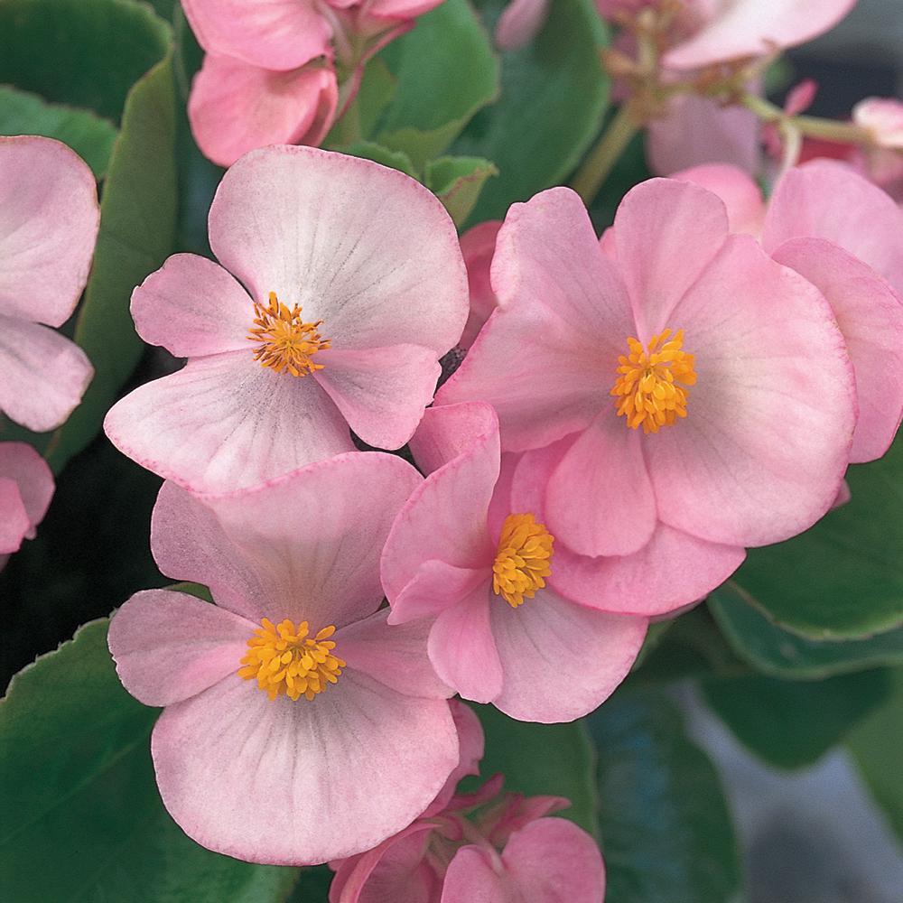 1.38 Pt. Green Leaf Pink Begonia Plant