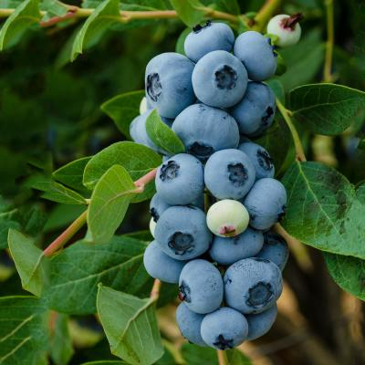 1 Gal. Legacy Blueberry (Vaccinium) Live Fruiting Plant White Flowers with Green Foliage