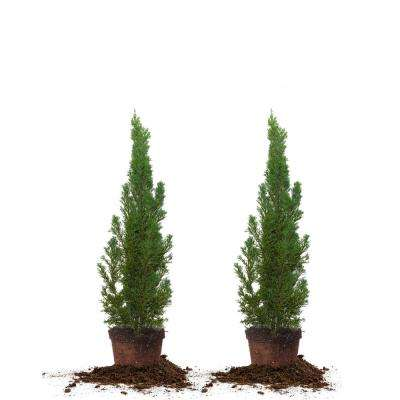 2 ft.- 3 ft. Italian Cypress (2-Pack)