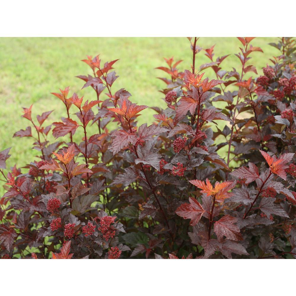 4.5 in. qt. Ginger Wine Ninebark (Physocarpus) Live Shrub, White to Pink Flowersand Orange, Purple, and Red Foliage