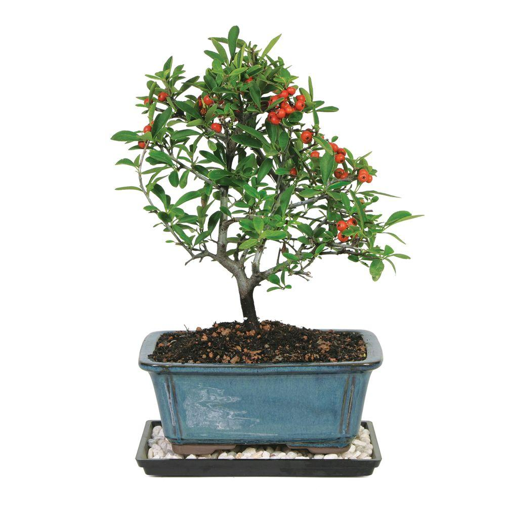 Brussel's Bonsai Dwarf Pyracantha Bonsai The Brussel's Bonsai Dwarf Pyracantha Bonsai is a graceful, spreading tree with petite, light-green leaves. Clusters of round, red berries are displayed on the bonsai for an extended period followed by starry white blooms. This delightful bonsai tree appreciates sun and responds well to outdoor growing. It comes in an 8 in. container.