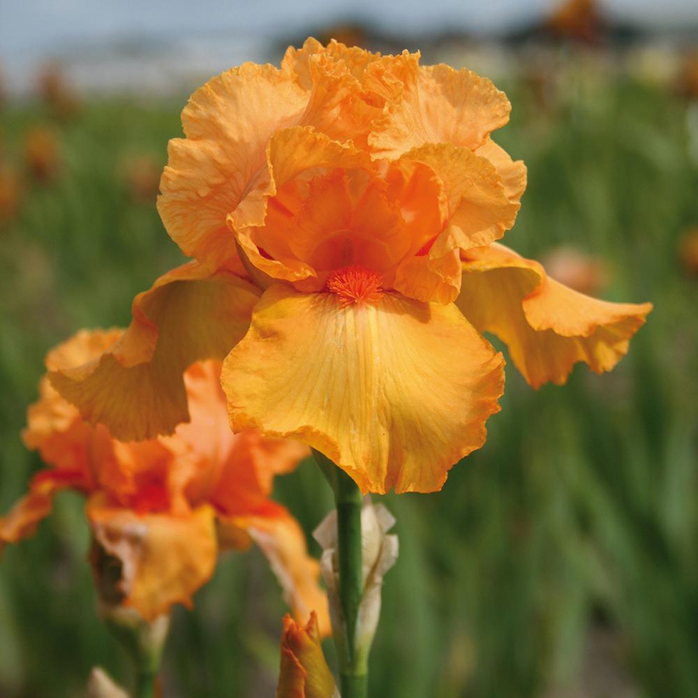 Bearded Iris Bulbs Firebreather Set Of 3 Roots
