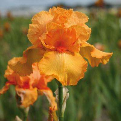 Bearded Iris Bulbs Firebreather (Set of 3 Roots)
