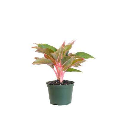 12 in. Tall to 17 in. Tall Aglaonema Sapphire Suzanne Live Indoor Outdoor Houseplant in Grower Pot