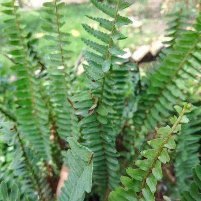 Green Foliage Woodland Plant Christmas Fern (3-Pack)