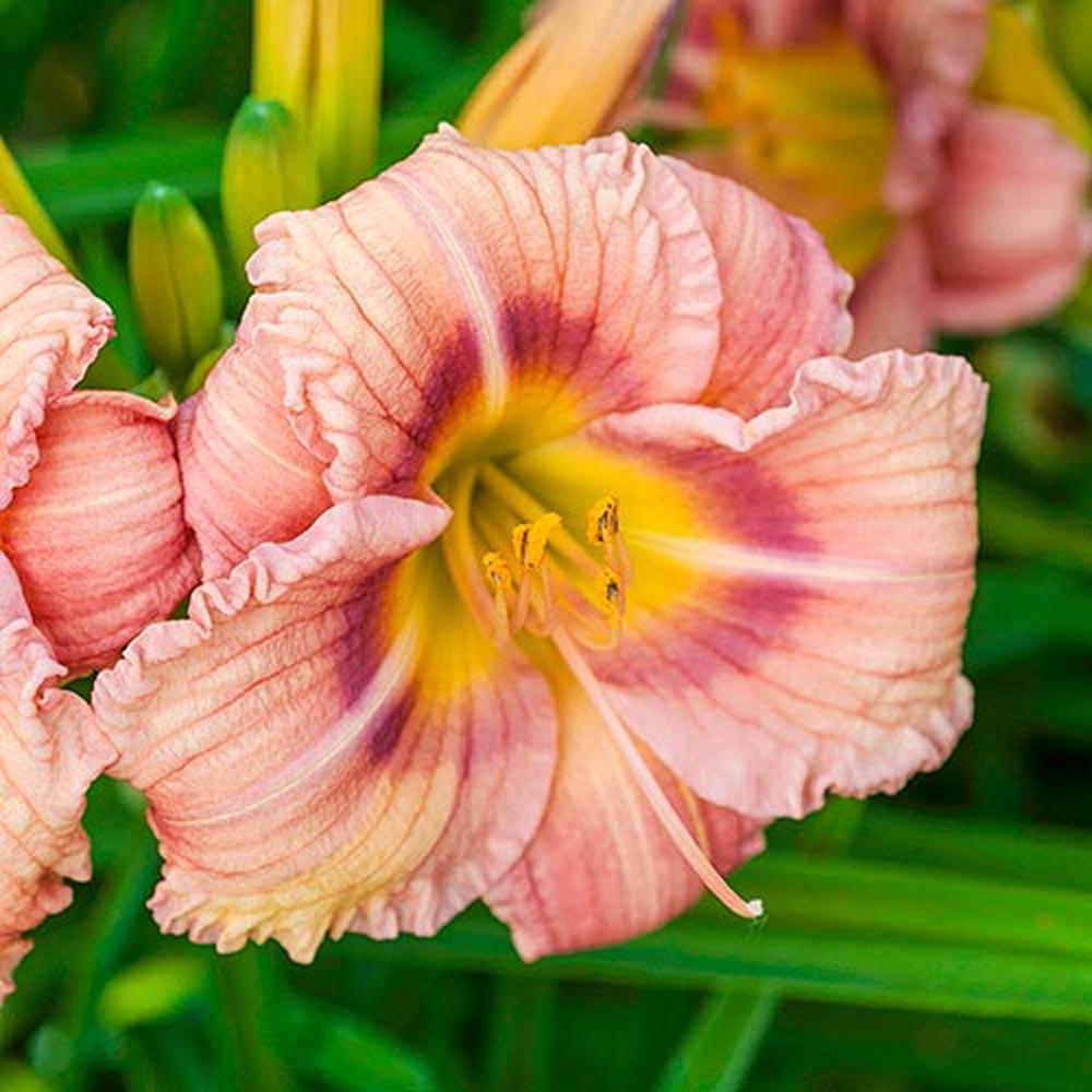 EveryDaylily Rose Daylily Bareroot Plant