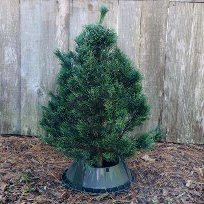 3 ft. to 4 ft. Freshly Cut Scotch Pine Real Christmas Tree