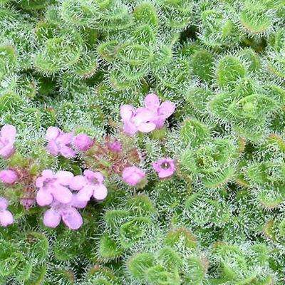 1 Gal. Woolly Thyme Plant