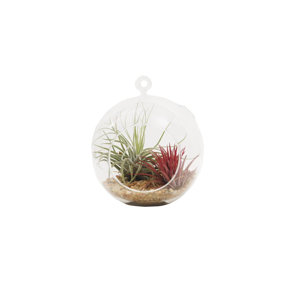 Shop Succulents Large Terrarium With Air Plants 1 Ter Ap 6in The