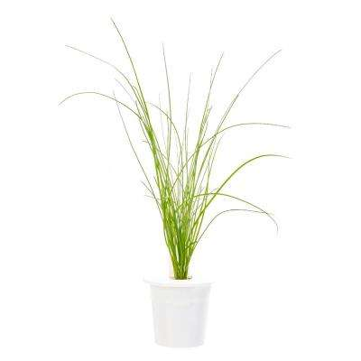 Chives Refill (3-Pack) for Smart Herb Garden