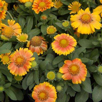3 in. Pot Arizona Apricot Blanket Flower Gaillardia, Live Potted Perennial Plant with Orange Flowers (1-Pack)