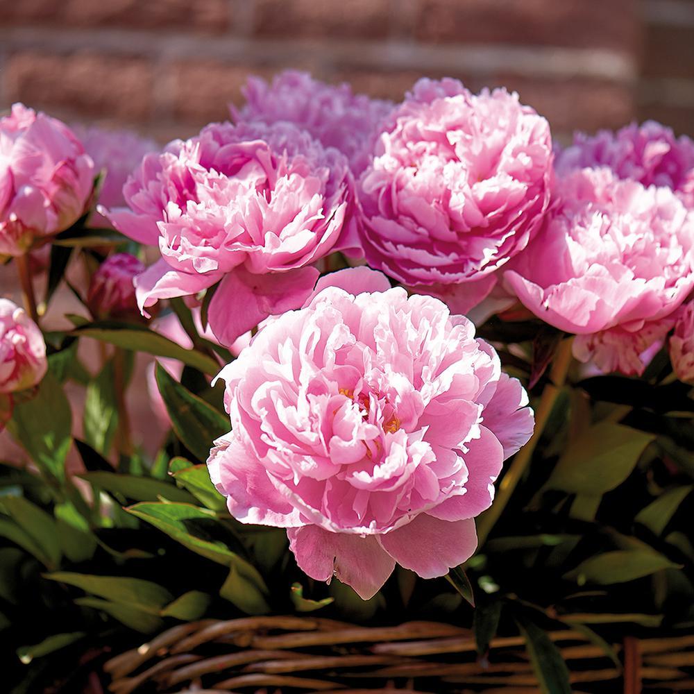 Peony pink spring to fall flower bulbs garden plants peonies bulbs sarah bernhardt set of 3 roots mightylinksfo
