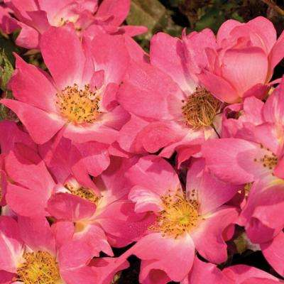 2 Gal. Pink Rose - Live Re-Blooming Groundcover Shrub