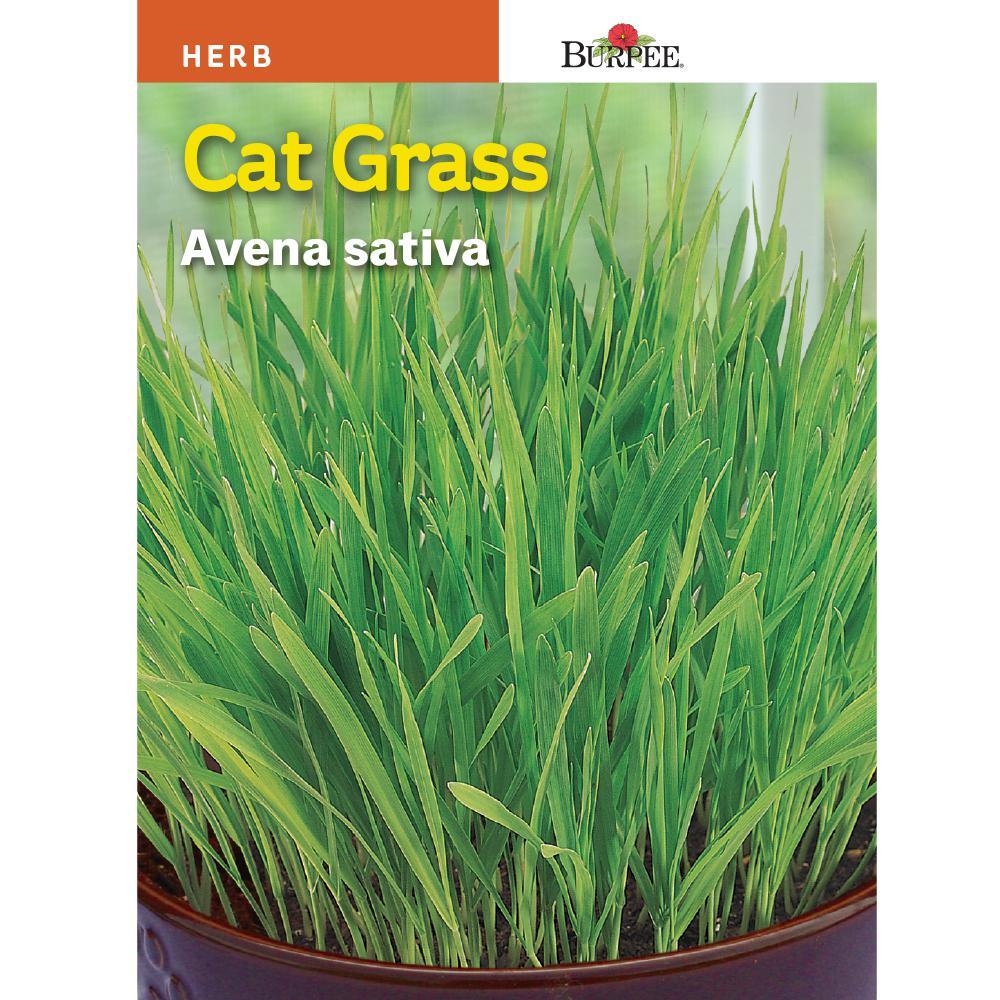 Herb Cat Grass Seed