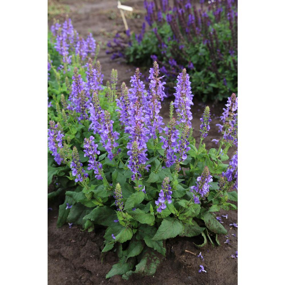 3 in. Sky Blue Marvel Blue Bloom Salvia Plant (3-Piece)