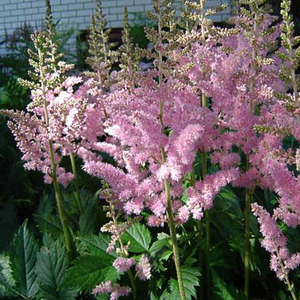 OnlinePlantCenter 1 Gal. Visions in Pink Meadow Sweet Astilbe Plant
