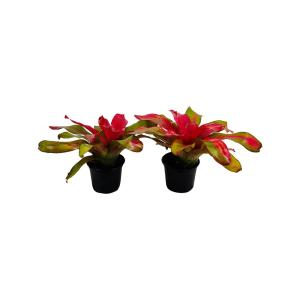 2.5 Qt. Bromeliad Neoregelia Plant Donna in 6.33 In. Grower's Pot (2-Plants)