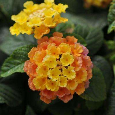 2.5 Qt. Little Lucky Peach Glow Lantana, Live Perennial Plant, Orange-peach to Yellow Bloom Clusters